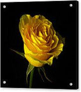 Rose 1 Acrylic Print