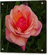Rose 13 Acrylic Print