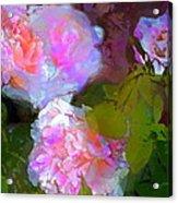 Rose 184 Acrylic Print by Pamela Cooper