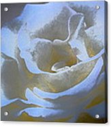 Rose 186 Acrylic Print by Pamela Cooper