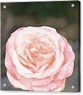 Rose 195 Acrylic Print by Pamela Cooper