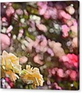 Rose 209 Acrylic Print by Pamela Cooper