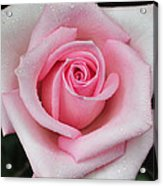 Rose 22 Acrylic Print