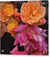 Rose 284 Acrylic Print