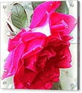 Rose - 4505-004 Acrylic Print
