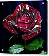 Rose 5 Acrylic Print