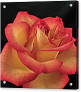 Rose 50 Acrylic Print