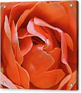 Rose Abstract Acrylic Print