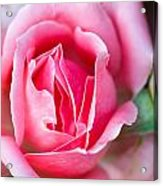 Rose And Bud Acrylic Print