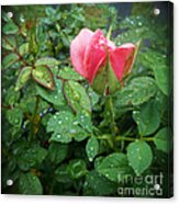 Rose And Rain Drops Acrylic Print