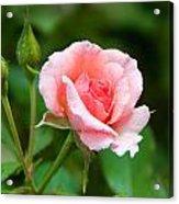 Rose And Raindrops Acrylic Print