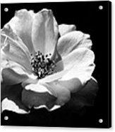 Rose Art Acrylic Print