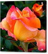 Rose Beauty Acrylic Print