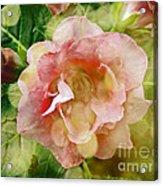 Rose Begonia In Pink Acrylic Print
