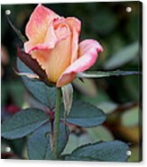 Pink Rose Bloom  Acrylic Print
