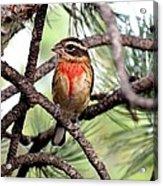 Rose-breasted Grosbeak On Pine Tree Acrylic Print