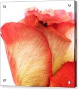 Rose Bud 1 Acrylic Print