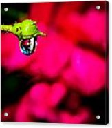 Rose Bud After Rain Acrylic Print