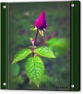 Rose Bud Acrylic Print by Brian Wallace