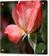 Rose Bud In Rose Acrylic Print