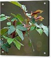 Rose Bush Rain Acrylic Print