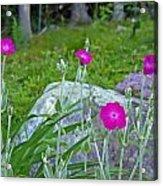 Rose Campion Acrylic Print
