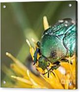 Rose Chafer Acrylic Print