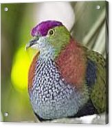 Rose-crowned Fruit Dove Acrylic Print