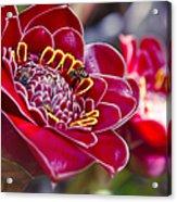 Rose De Porcelaine Acrylic Print