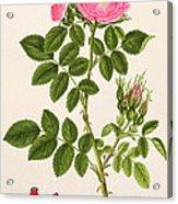 Rose Eglanteria Acrylic Print