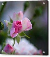 Rose Emergent Acrylic Print
