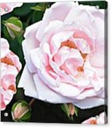 Rose Encounters Acrylic Print