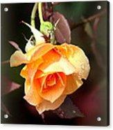 Rose - Flower - Card Acrylic Print