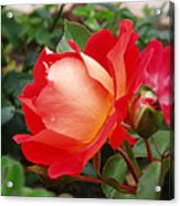 Rose Garden Red Square-3 Acrylic Print by Janice Sakry