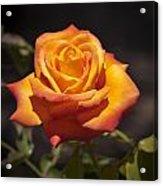 Rose Glow Acrylic Print