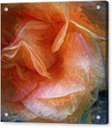 Rose Glows Acrylic Print