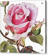 Watercolor Of Pink Rose Grace Acrylic Print