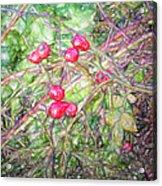 Rose Hip Imp Acrylic Print