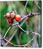 Rose Hip Wet Acrylic Print