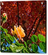 Rose In Autumn Acrylic Print