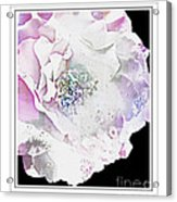 Rose In Pastels Acrylic Print