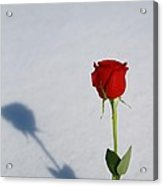 Rose In Snow Spring Approaches Acrylic Print
