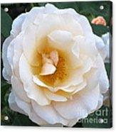 Rose In The Garden Acrylic Print