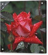 Rose In The Rain Acrylic Print