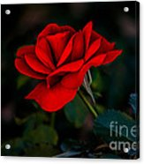 Rose Is A Rose Acrylic Print by Robert Bales