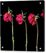 Rose Lineup Acrylic Print by Mauro Celotti