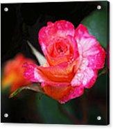 Rose Mardi Gras Acrylic Print by Rona Black