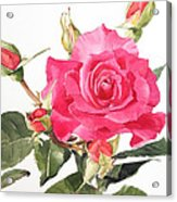 Watercolor Red Rose Margaret Acrylic Print