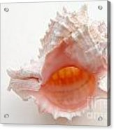 Rose Murex Seashell Acrylic Print