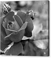 Rose Of Grace Acrylic Print